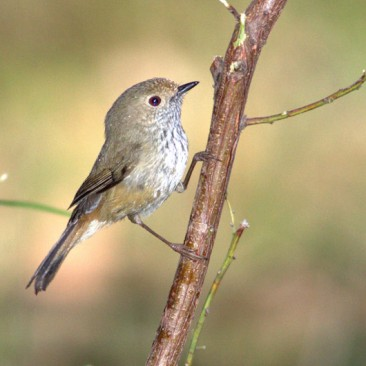 Brown Thornbill - Jim Smart