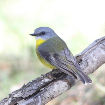 Eastern Yellow Robin - Jim Smart