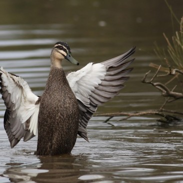 Pacific Black Duck - Darryl Luck