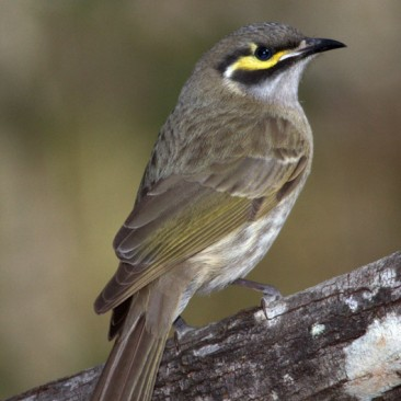 Yellow Faced Honeyeater - Jim Smart