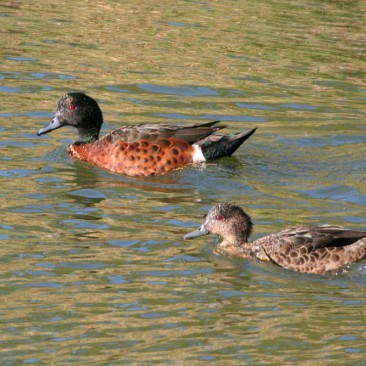 Chestnut Teal - Jim Smart