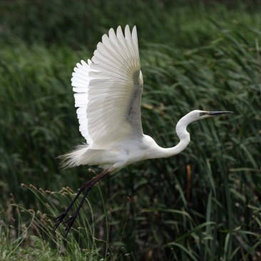 Eastern Great Egret - Darryl Luck