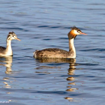 Great Crested Grebe - Rod Warnock