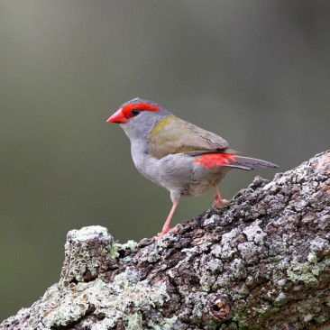 Red Browed Finch - Jim Smart